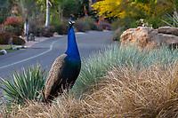 Peacock in Los Angeles County Arboretum