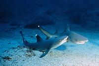 male whitetip reef shark, Triaenodon obesus, bites female during courtship, Cocos Island, Costa Rica, East Pacific Ocean
