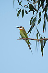 Madagascan Bee Eater, Merops superciliosus, Ifaty, Madagascar, perched high on branch, Least Concern on the IUCN Red List