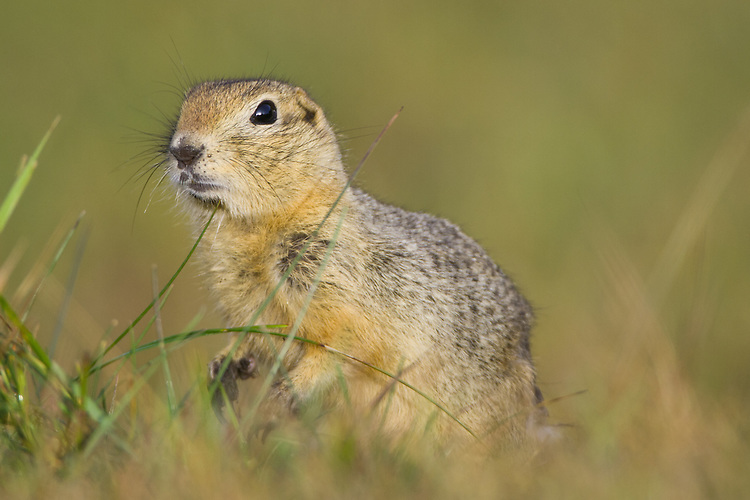 Richardson's Ground Squirrel standing amongst the grass