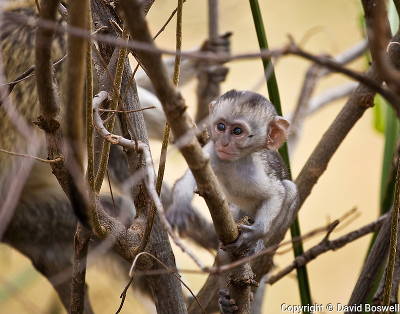A juvenile vervet monkey photographed in Tarangire National Park in Northern Tanzania