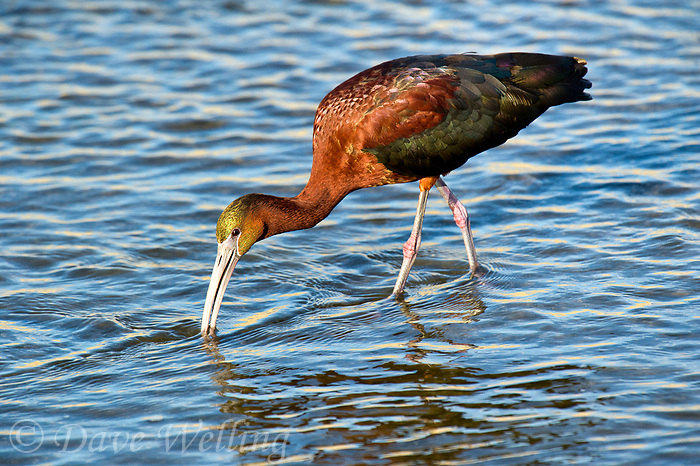 550100023 a wild glossy ibis plegadis falcinellus in breeding plumage feeds along the los angeles river in the sepulveda basin in los angeles county california approximately 1500 miles west of its normal range