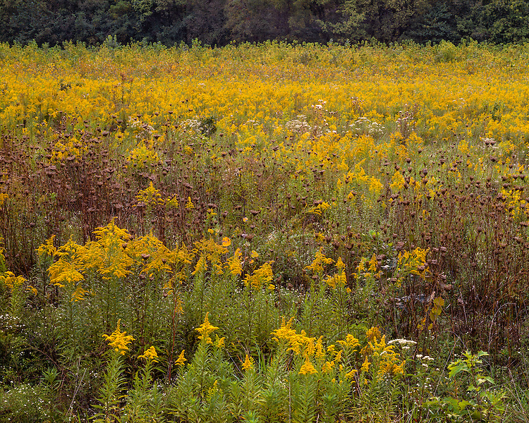 Prairie in flower with Goldenrod and Queen Anne's Lace at Fox Ridge State Park; Coles County, IL