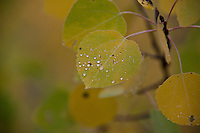 In the midst of going from green to gold a leaf is dabbed with drops of morning dew.