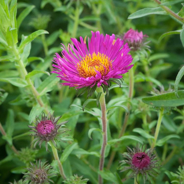 Symphyotrichum novi-angliae 'Rubinschatz', early September. A bright pink New England aster.