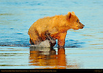 Alaskan Coastal Brown Bear, Golden Female at Sunset, Silver Salmon Creek, Lake Clark National Park, Alaska