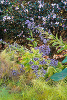Aster tatarius with Amsonia hubrechtii in autumn color and Pawlonia tree leaves, Camellia