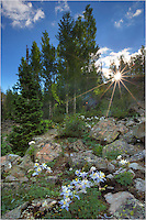 While on a hike to Crater Lake in Colorado's Maroon Bells Wilderness Area, I paused to enjoy the moment of sunlight streaming through the aspen trees. I found a small group of columbine on a nearby ridge and attempted to capture the timeless moment in a photograph. For some reason, John Denver tunes kept moving through my mind in the moments while hiking around this wonderful area of the Rocky Mountains.