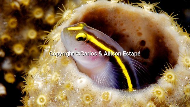 Elacantinus xanthiprora, Yellowprow Goby, Florida Keys