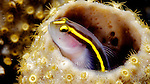 Elacantinus xanthiprora, Yellowprow Goby, Florida Keys