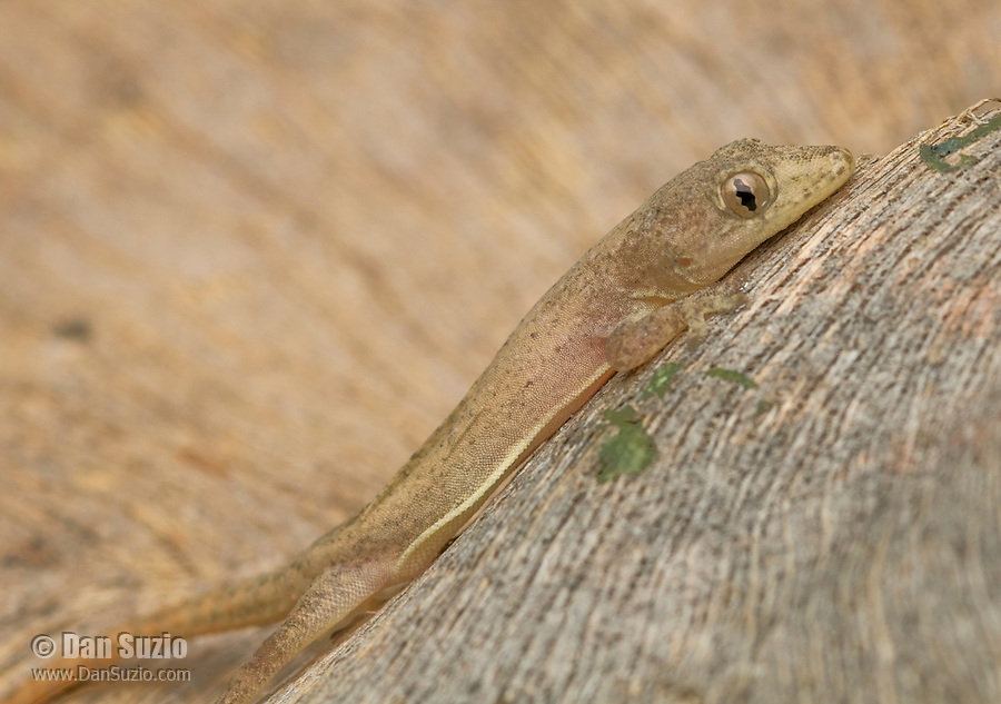 House gecko, Hemidactylus frenatus, from the Baucau district of Timor-Leste (East Timor)