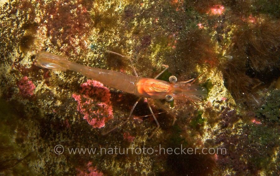 Tiefseegarnele, Eismeergarnele, Grönlandgarnele, Grönland-Shrimp, Shrimp, Tiefsee-Garnele, Eismeer-Garnele, Grönland-Garnele, Garnele, Pandalus borealis, northern shrimp, pink shrimp, northern pink shrimp