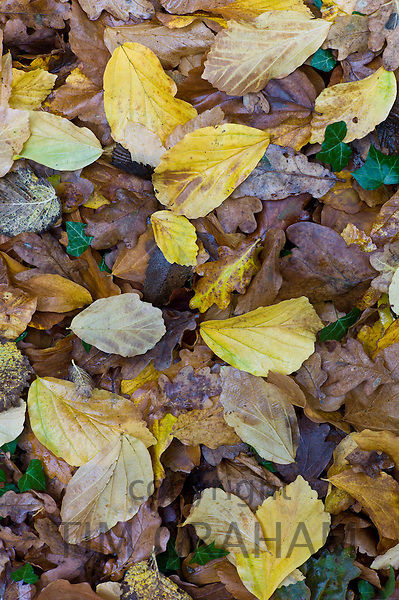 Autumn colours leaves of oak, ivy and Persian ironwood (Parrotia persica) on forest floor during The Fall in The Cotswolds, UK
