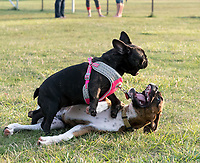 There's never a dull moment at the Sarnia Off Leash Dog Park. Jade, a five-month old boxer owned nby Carol Morgan, plays a rough and tumble game with her friend Elsie, a four-month-old French bull dog, owned by Jeff Fell.
