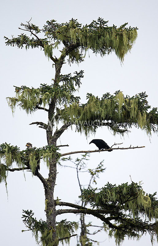 Ravens are a common sight in the Great Bear Rainforest.  Here, one shares a tree with a bald eagle.