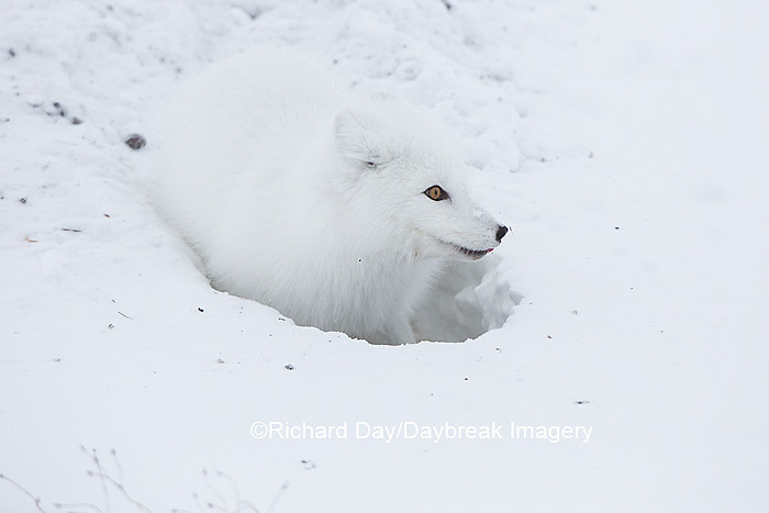 01863-01712 Arctic Fox (Alopex lagopus) at food cache, Cape Churchill, Wapusk National Park, Churchill, MB Canada