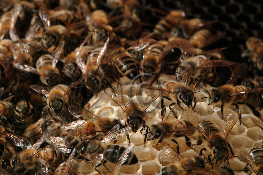 Multitude. A health colony has up to 40 000 bees of all ages. 300 to 400 workers die daily. Summer bees live 5 to 6 weeks before dying of exhaustion. Winter bees live 6 to 8 months.
