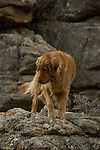 our dog Ella, golden retreiver, registered, outdoors, Rocky Mountains, Colorado