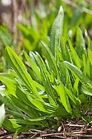 Spitz-Wegerich, junge, zarte Blätter im Frühjahr, Spitzwegerich, Wegerich, Plantago lanceolata, English Plantain, Ribwort
