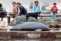 Burmeister's porpoise, Phocoena spinipinnis, killed in fishery, Peru, Pacific Ocean