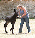 "Rare Le Baudet ""rasta"" dreadlocked donkeys. .Three day old donkey ""Belle"" daughter of  Lorelei is learning to walk. She struggles to her feet encouraged by her mother and two handlers and this donkey sanctuary..One up she manages to prance around but almost immediately is tired out and has to be taken off for a sleep in her stable..Unfortunately the steps is too much for her and handler 20 year old Melanie has to carry the 88 pound baby - (five and a half stones.).Belle and her mother live at a donkey sanctuary in Charente, France...When she is fully grown she will eventually have much more hair like Lambada.....Picture by Gavin Rodgers/ Pixel8000. 07917221968"