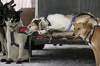 "Jessie Royers ""Toad"" rests on the tailgate before the restart of the 2008 Iditarod in Willow"