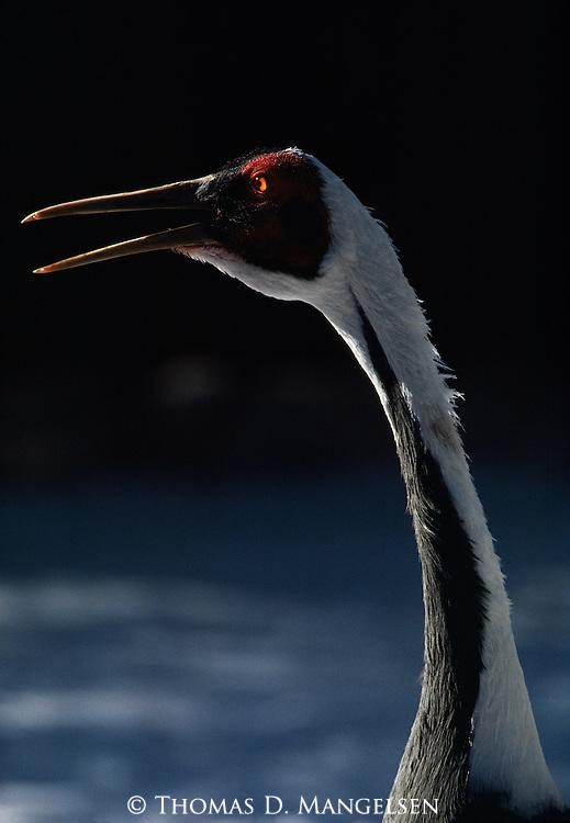 White-naped Crane captive/breeding