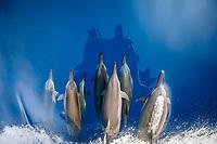 spinner dolphin, Stenella longirostris, bow-riding, Chichi-jima, Bonin Islands, Ogasawara Islands, UNESCO World Heritage Site, Japan, Pacific Ocean
