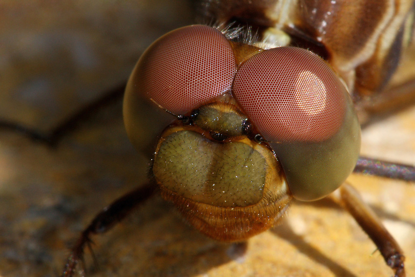 The Roseate Skimmer (Orthemis ferruginea) is a southern dragonfly. Newly emerged specimen.