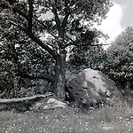 Oak tree and Boulder in Barre, MA