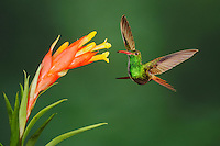 Rufous-tailed Hummingbird (Amazilia tzacatl), adult feeding from bromeliad flower,Mindo, Ecuador, Andes, South America
