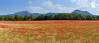 Panoramic view of poppies in field at spring (TRAVEL FRsb10061763ll-001 )