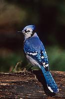 Blue Jay, Cyanocitta cristata, adult, San Antonio, Texas, USA, Oktober 2003