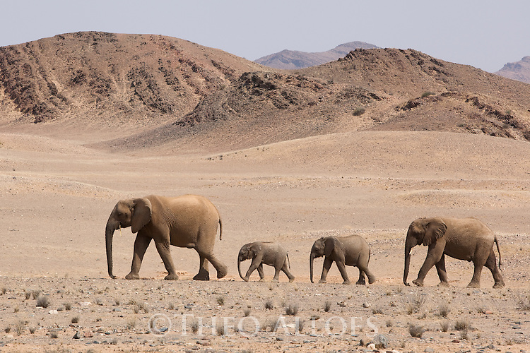 Namibia;  Namib Desert, Skeleton Coast,  desert elephant (Loxodonta africana) female and calves crossing open desert plain