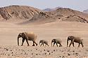 Namibia;  Namib Desert, Skeleton Coast,  desert elephant (Loxodonta africana) female and calves crossing open desert plain