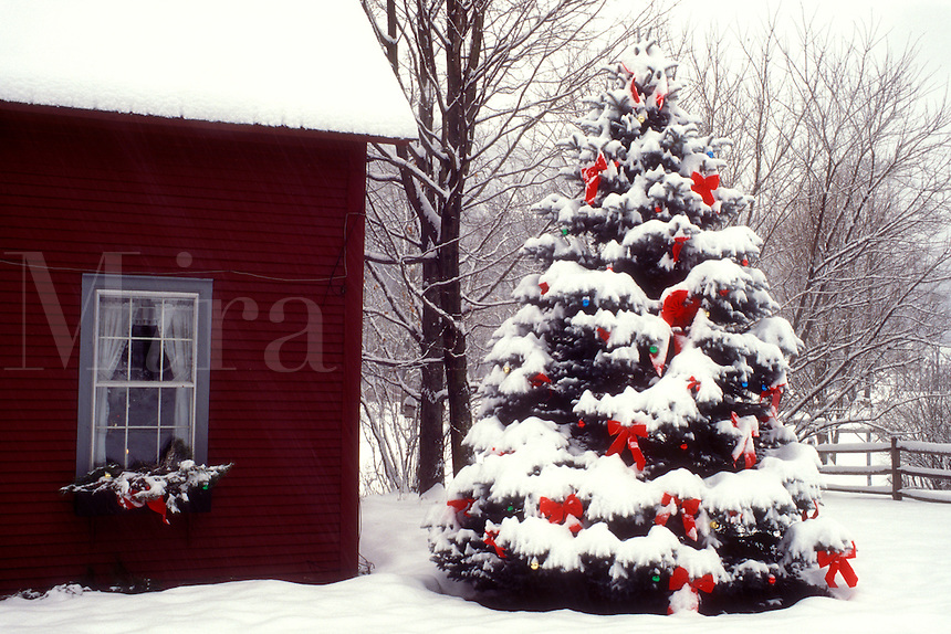AJ5813, Christmas tree, decorations, holiday, house, ribbon, snow, winter, A large snow covered evergreen tree is decorated with red bows and colorful balls for the Christmas holiday season on the lawn of a home in South Pomfret in Windsor County in the state of Vermont.