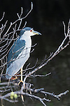 Ding Darling National Wildlife Refuge, Sanibel Island, Florida; an adult black-crowned night heron (Nycticorax nycticorax) standing on a mangrove branch over the surface of the water