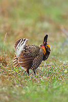 Male Attwater's Prairie Chicken (Tympanuchus cupido) displaying, Texas, March.