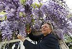 Foto: VidiPhoto<br /> <br /> DODEWAARD – Tuinfanaat Gerrie de Vree uit Dodewaard knipt donderdag de 'losse eindjes' uit de 'blauwe regen' aan de zonzijde van haar woning. Niet zonder trots, want nog nooit heeft de slingerplant zo vroeg en zo mooi gebloeid als dit jaar. Tuinliefhebbers constateren met verbazing dat de uitbundige lentebloeier in tuinen en parken al enkele dagen in volle bloei staat. De blauwe regen (Wisteria sinensis) bloeit normaal gesproken vanaf mei en duurt ongeveer 3-4 weken. Oorzaak van de vroege bloei is volgens hoveniers de warme temperaturen en meer lichturen in april en eind maart, in vergelijking met voorgaande jaren. Ook is er geen winter van betekenis geweest, in tegenstelling tot vorig jaar toen er in maart nog geschaatst werd. De blauweregen bloeit alleen op meerjarig hout en moet voor een uitbundige bloei eerst flink teruggesnoeid worden, is de ervaring van Gerrie de Vree.