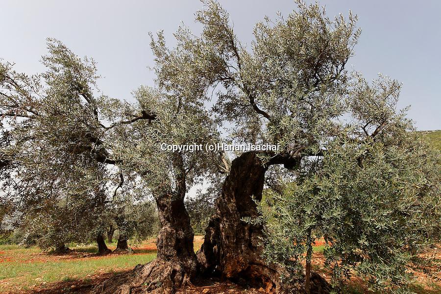 Israel, Upper Galilee. Olive tree in Ein el Assad