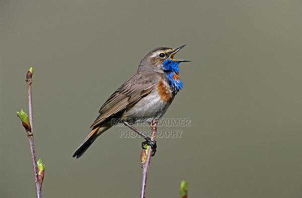 Bluethroat, Luscinia svecica,male singing, Lake of Ritom, Alps, Switzerland, Europe