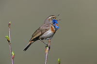Bluethroat, Luscinia svecica,male singing, Lake of Ritom, Alps, Switzerland, Europe