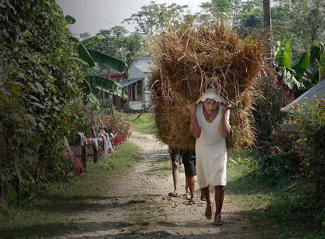 Rice Harvest, Nepal, near Indian border