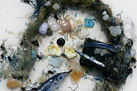 20061031 INTERNATIONAL WATERS : CENTRAL NORTH PACIFIC OCEAN  The contents of the 'Yellow Thing' after a trawl in the high seas of the Central North Pacific Ocean 30th October 2006. Greenpeace are highlighting the threat that plastic poses to the world's oceans.<br /> ALEX HOFFORD