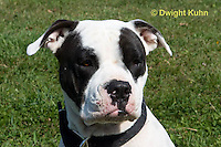 SH40-598z  American Bulldog, Close-up of face,  Canis lupus familiaris
