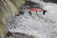 RP0809-D. Coho Salmon (Oncorhynchus kisutch) swimming upstream to spawn, here a male is jumping out of river to clear small rapids. Washington, USA.<br /> Photo Copyright &copy; Brandon Cole. All rights reserved worldwide.  www.brandoncole.com