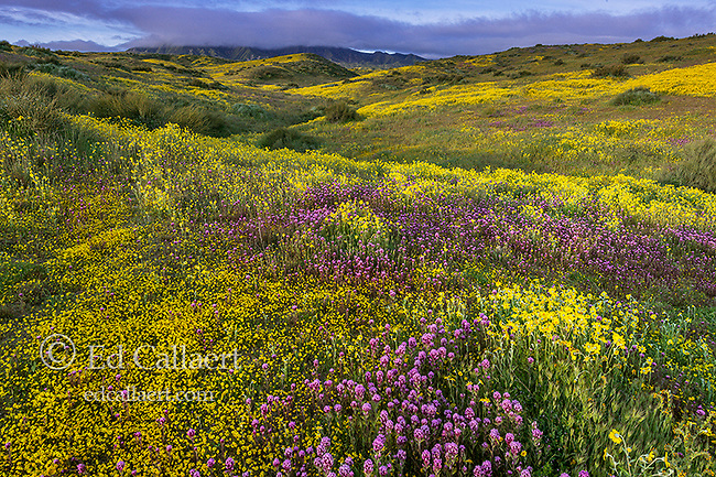 Owls Clover, Monolopia, Coreopsis, Caliente Range, Carrizo Plain National Monument, San Luis Obispo County, California