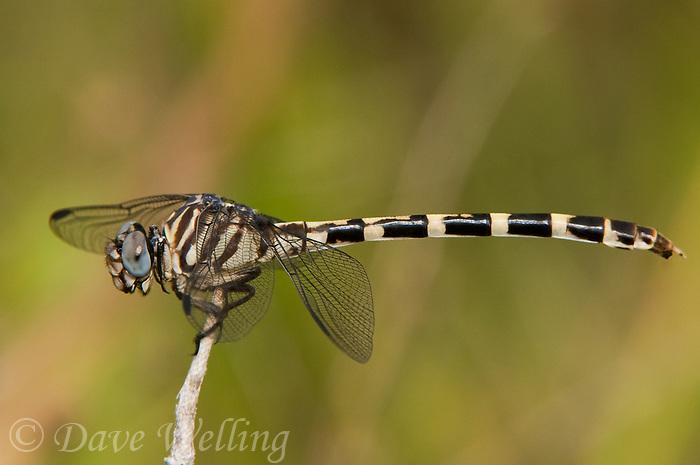 360270001 a wild female four-striped leaftail dragonfly phyllogomphoides stigmatus southeast regional park austin texas