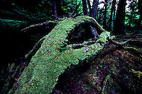 Haida Gwaii (Queen Charlotte Islands), Northern BC, British Columbia, Canada - Moss Covered Trees in Temperate Rainforest on Graham Island, Unusual Tree Formation