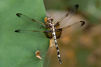 389090012 a wild female checkered setwing dragonfly dythemis fugax perched on an opuntia pad in Southeast Metropolitan Park, Austin, Travis County, Texas